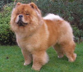 The Chow Chow Club